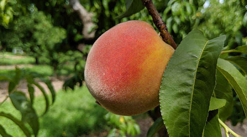 A ripe peach ready to be picked in Western Colorado.