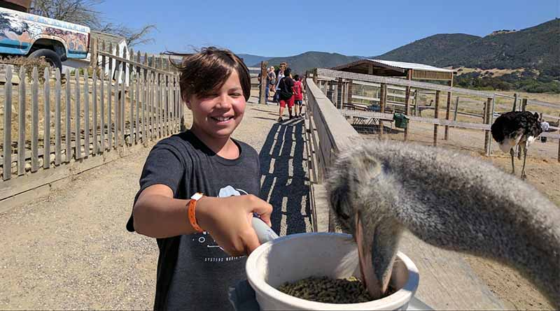 Iden Elliott feeds a hungry ostrich at OstrichLand USA -- very carefully.